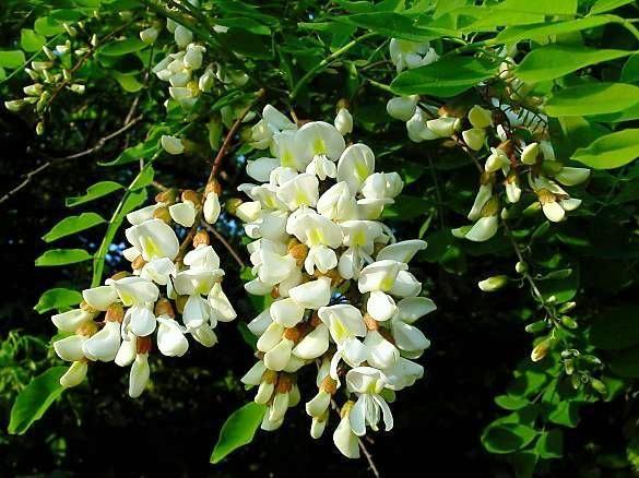jedovaté rostliny, robinia pseudoacacia, trnovník akát