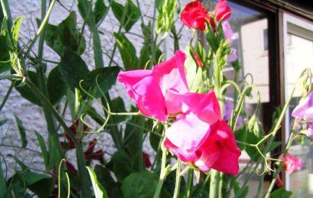 jedovaté rostliny, lathyrus odoratus, hrachor vonný