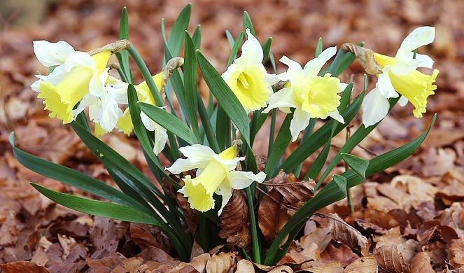 jedovaté rostliny, narcissus pseudonarcissus, narcis bílý