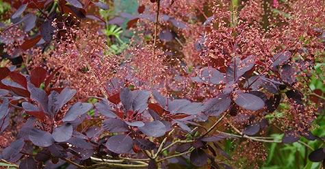 jedovaté rostliny, continus coggygria, ruj vlasatá