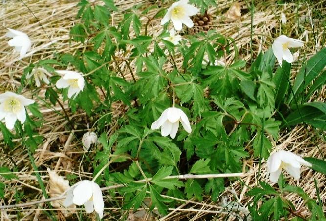 jedovaté rostliny, anemone nemorosa, sasanka hajní