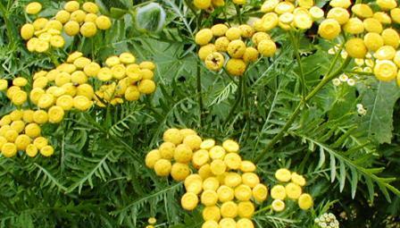 jedovaté rostliny, tanacetum, vratič