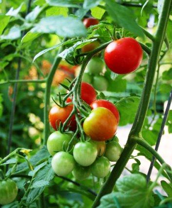 Pěstování balkonových rajčat