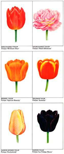 Tulipán tulipány jak sadit tulipány výsadba cibulovin